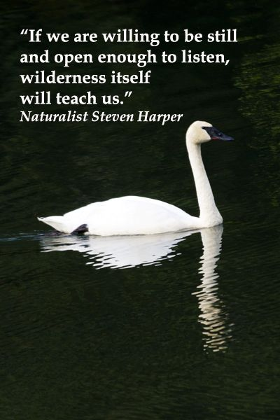"""If we are willing to be still and open enough to listen, wilderness itself will teach us.""  Naturalist Steven Harper – On image of elegant TRUMPETER SWAN in ALASKA -- Explore quotes on discovering the sacred in life at http://www.examiner.com/article/learning-to-find-the-sacred-life"