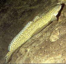 Lake, Lota lota. Eneste ferskvannsfiske i brosmefamilien. Fra Østfold til Finnmark - med unntak av Nordland. I Norge sjelden over 6kg, dokumentert rekord 34 kg.