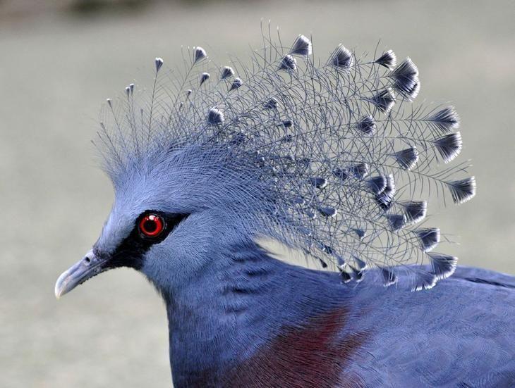Птицы, которые вызывают неподдельное восхищение Веероносный венценосный голубь (лат. Goura victoria) Веероносный венценосный голубь (лат. Goura victoria), настолько красивый, что вообще не похож на голубя. Великолепная корона голубя состоит из полупрозрачного, стоящего гребнем веера распущенных перьев. Водятся на воле в Новой Гвинее и соседних островах. Голубь и голубка, как и у других голубей,- это прочная пара, на всю жизнь…