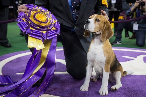 At Westminster Dog Show, Miss P, a Beagle, Wins Best in Show - NYTimes.com Miss P, who is retiring to motherhood, did not exhibit the palpable charm of Uno, who howled when he was judged. Credit Andrew Burton/Getty Images