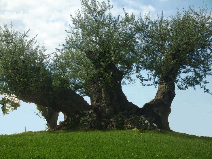 die besten 25 olivenbaum ideen auf pinterest. Black Bedroom Furniture Sets. Home Design Ideas