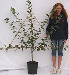 2-year pot-grown Espalier and Fan-trained fruit trees