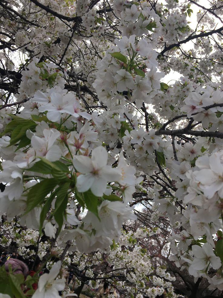 Cherry blossoms 🌸🌸  #japan