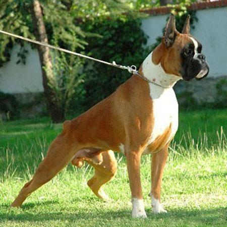 Rottweiler Dog For Sale Olx