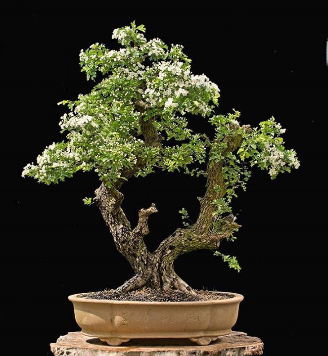European Hawthorn 80cm high and about 70 years old