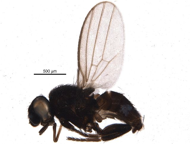 Freeloader fly (Neophyllomyza sp.) collected in Nahanni National Park Reserve, Northwest Territories, Canada, and photographed at the Centre for Biodiversity Genomics (sample ID: BIOUG15747-B06; specimen record: http://www.boldsystems.org/index.php/Public_RecordView?processid=CNNHC068-14; BIN: http://www.boldsystems.org/index.php/Public_BarcodeCluster?clusteruri=BOLD:ACR5257)