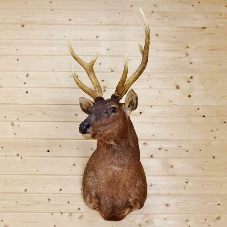 Rusa Deer Taxidermy Mount - Javan Rusa - SW9040
