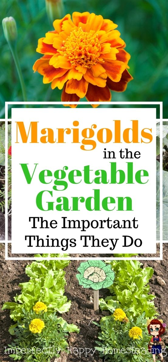 Marigolds in the Vegetable Garden 6 Important Things They Do - Gardening