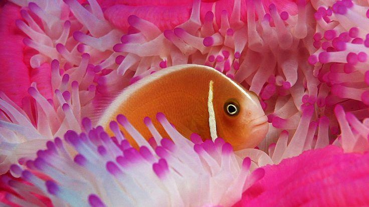 poisson clown anémone rose Wallpaper