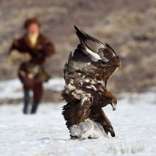 A Kazakh hunter runs towards to his tamed golden eagle as it catches a rabbit during an annual hunting competition in Chengelsy Gorge, some 150 km (93 miles) east of Almaty.