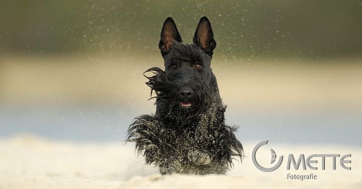 This Scottie chappie is obviously enjoying his romp in the snow [Credit: mette-naturfoto.de]
