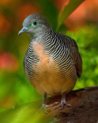 The Zebra Dove (Geopelia striata) also known as Barred Ground Dove, is a bird of the dove family Columbidae, native to South-east Asia.