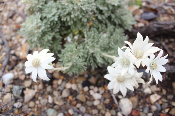 More flannel flowers