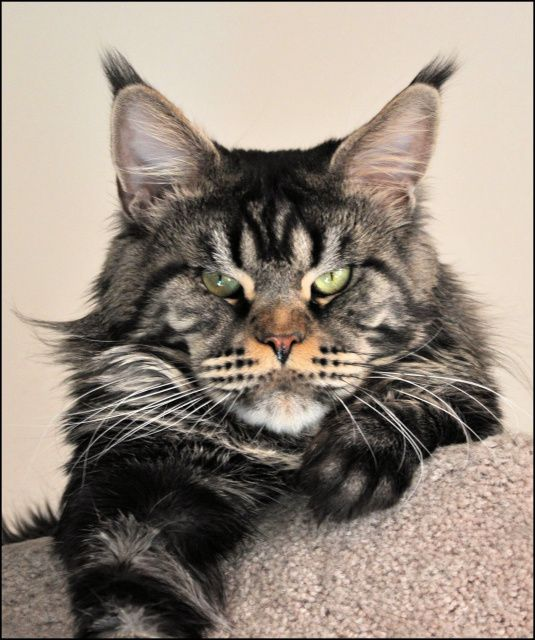 Maine Coon Cats Rescue Missouri