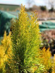 Koniferen-Hecke aus Lebensbaum 'Golden Smaragd' ® > der immergrüne Grenzschmuck