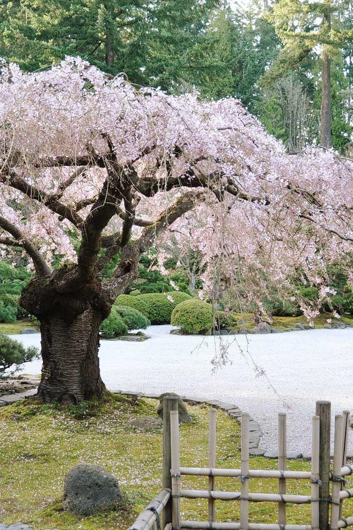 Where To See Cherry Blossoms In The Us Local Adventurer Travel Adventures In Las Vegas World Wide Japanese Garden Portland Japanese Garden Garden Paths
