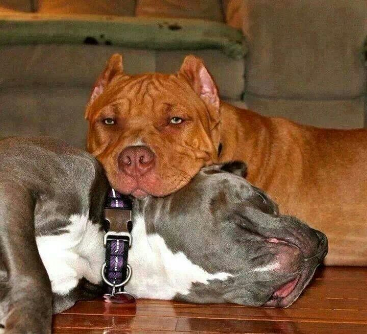 Pin by Terry Lopez on Pit Bull | Pinterest