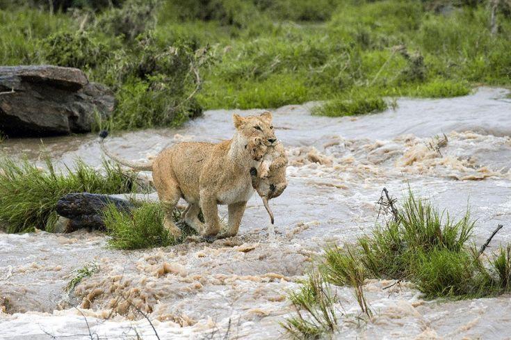 Una leonessa madre di un cucciolo di nove settimane ha sfidato l'acqua per portarlo al sicuro. Le forti piogge hanno riempito in pochi minuti il letto di un fiume completamente asciutto nella riserva del Masai Mara in Kenya. Nonostante l'atavica paura dei felini per l'acqua, la leonessa ha seguito i