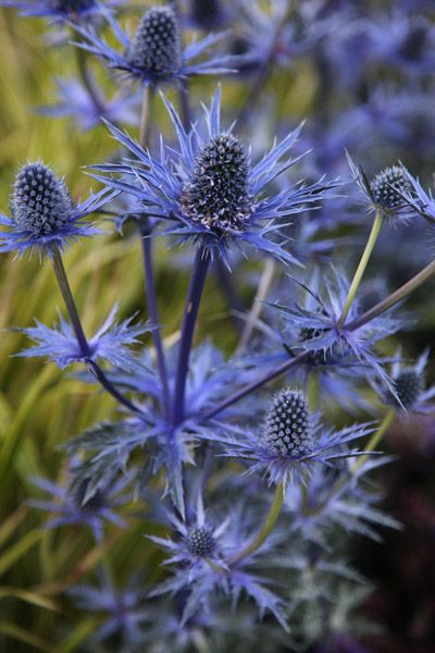 Eryngium × zabelii 'Jos Eijking (PBR)' Position: full sun Soil: moist, well-drained soil Rate of growth: average Flowering period: August to October Flower colour: steely blue Other features: superb foliage Hardiness: fully hardy