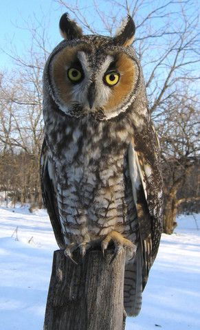 The Long-eared Owl's sizable tufts contribute to its typical 15-inch length.