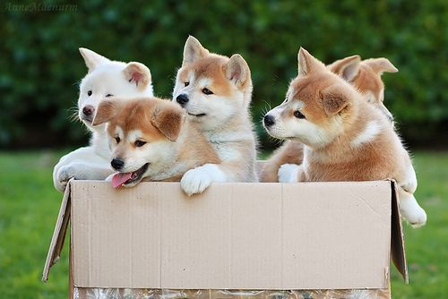 A box of Akita puppies. Akita dog art portraits, photographs, information and just plain fun. Also see how artist Kline draws his dog art from only words at drawDOGS.com #drawDOGS