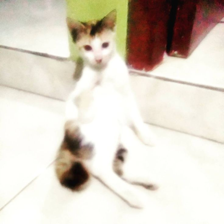 Si cantik lily sedang bersantai #lily #cat #kitten #catworld #catlovers #kitty #kucingkampung #kucing #meow #mpus http://misstagram.com/ipost/1567315771472777467/?code=BXAOWPhgJD7