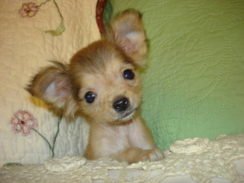 Toy Chihuahua...I want one to name Piglet lol