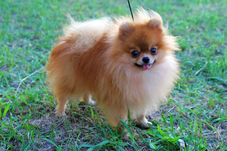 pictures of pomeranians | Red Pomeranian. Male, age of 2 years old