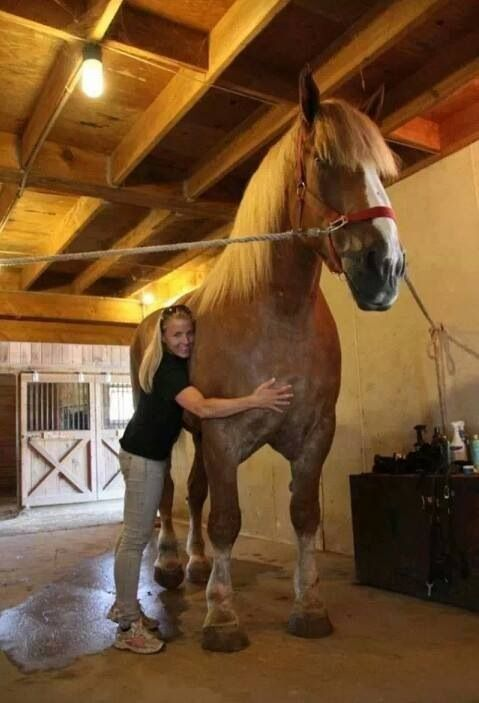 """Biggest horse on record ~ Big Jake.  He stands 6'9"""" tall at the shoulder!  Which means he's probably about 9f eet plus at the top of his head!  Incredible!"""