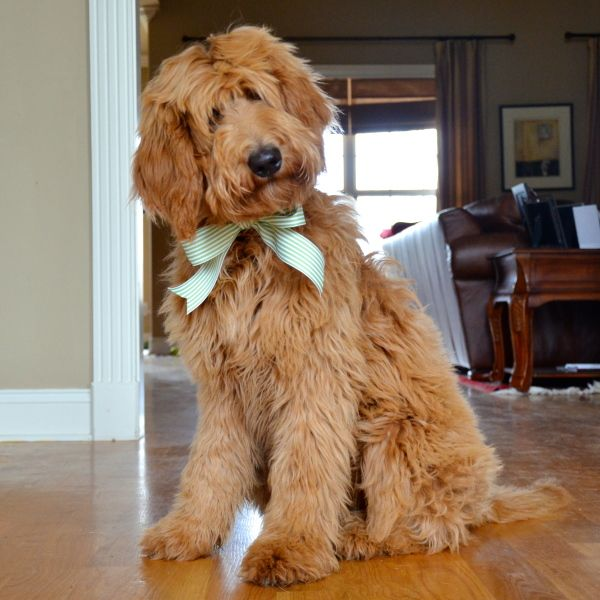 best 25 goldendoodle haircuts ideas on pinterest best 25 standard goldendoodle ideas on pinterest