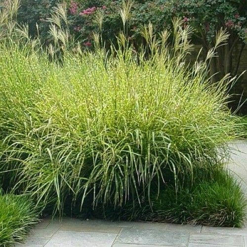 Perennial Grasses Illinois : Best images about zielono on gardens