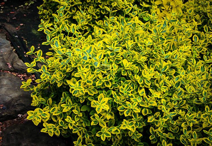 Buy Emerald N' Gold Euonymus Wintercreeper Online. Arrive Alive Guarantee. Free Shipping On All Orders Over $99. Immediate Delivery.
