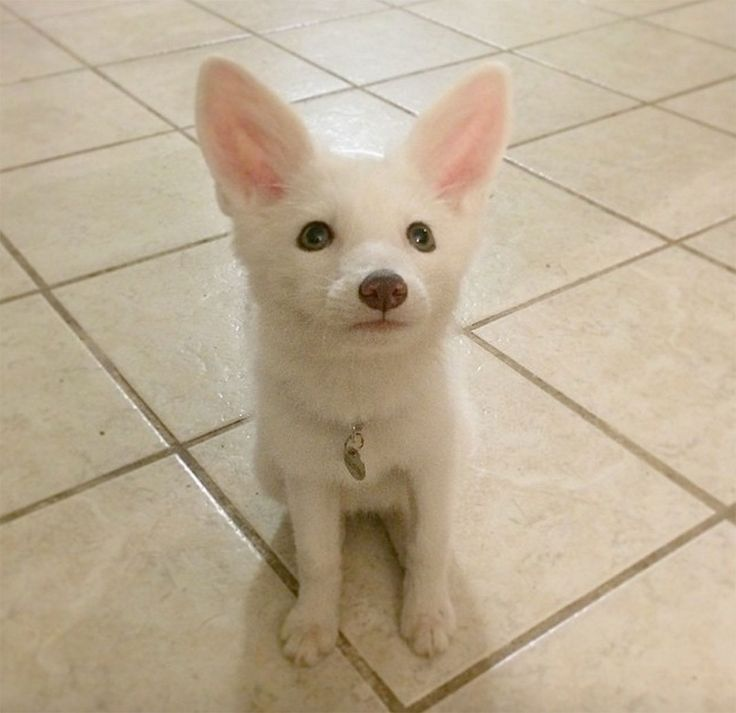 renard-blanc-mignon-domestique-1