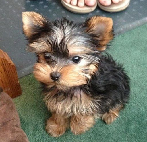 Adorable Cute Baby Yorkshire Terrier Puppy                                                                                                                                                                                 Plus
