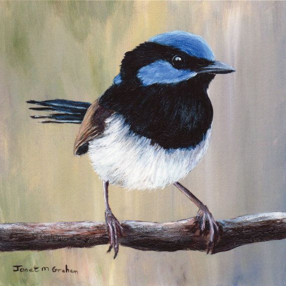 Superb Fairy Wren Print Bird Art  Australian Bird Australian Wildlife 6 x 6 inch print SFA Bird Print