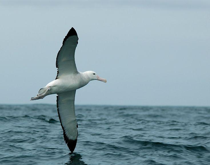 Albatros ...