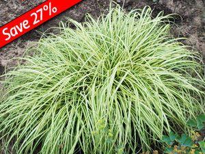Carex Evergold Ground Cover Ornamental Grass For Shade