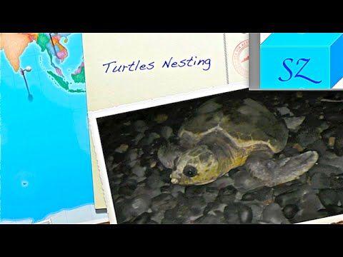 Морские черепахи откладывают яйца в Mon Repos Австралия