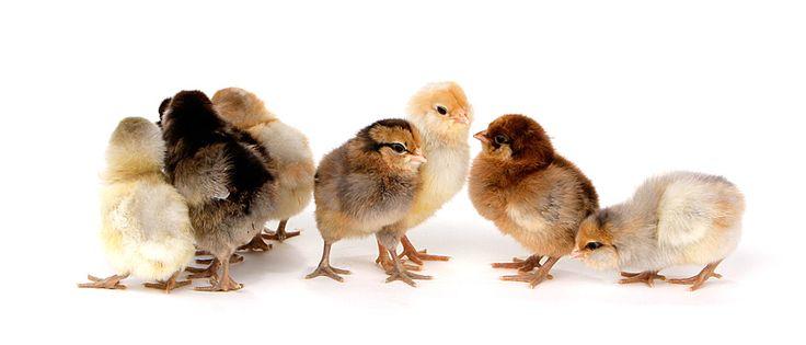 Day-Old Chicks: Easter Egger Bantam