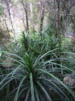 O2 Landscapes - Freycinetia banksii/Kiekie