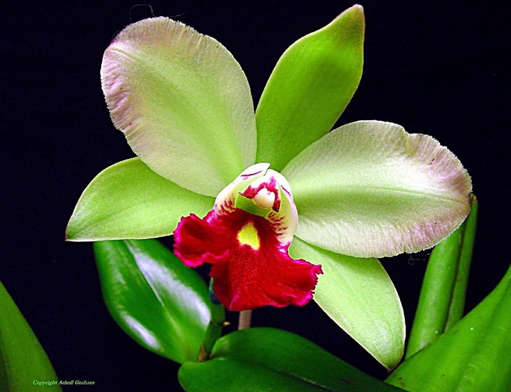 Green/Red Orchid. I love the colors.