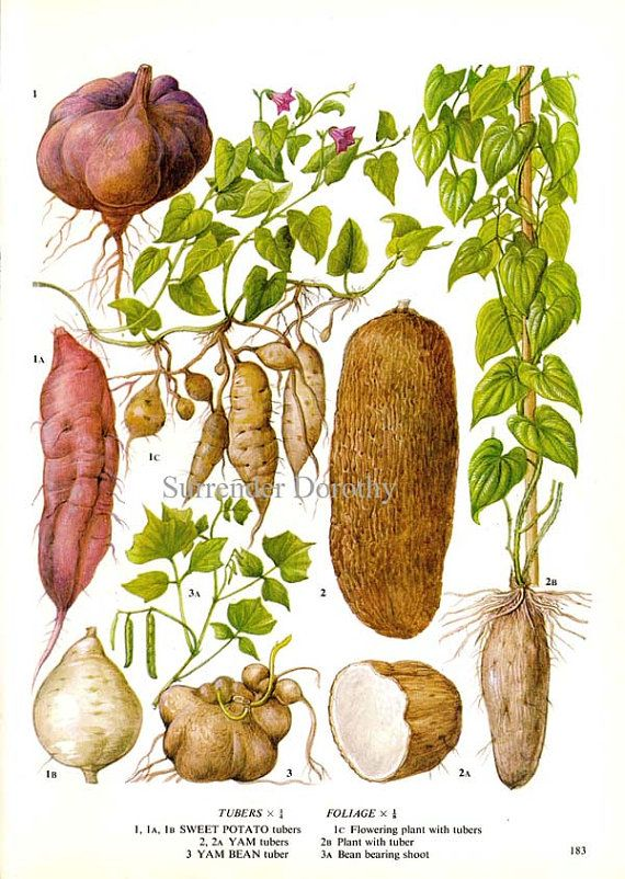 roots and tubers vegetables