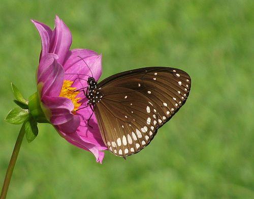 : Amazing Insects, Beautiful Butterflies, Common Indian, Floral Butterflies, Indian Crows,  Ringlet Butterflies, Flowers, Princesses, Photo