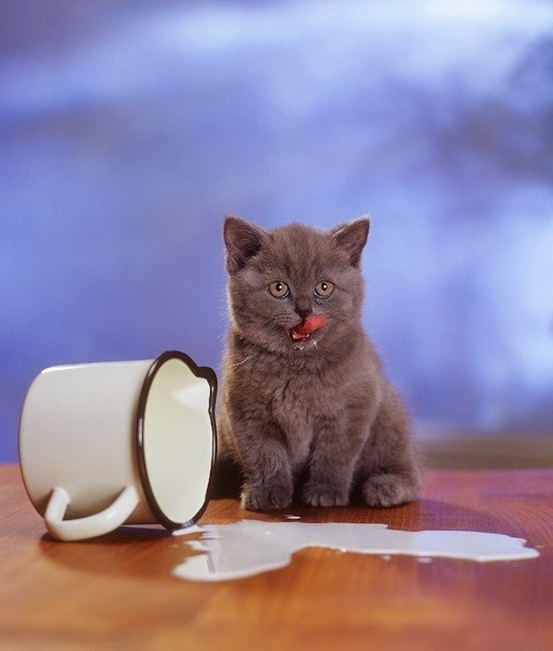 Lactose Free Milk For Cats