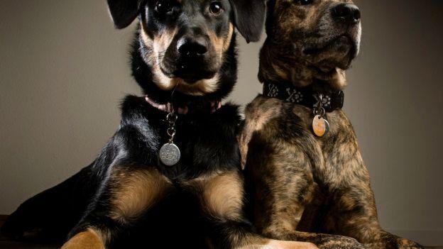 Come scegliere il tuo cane da guardia