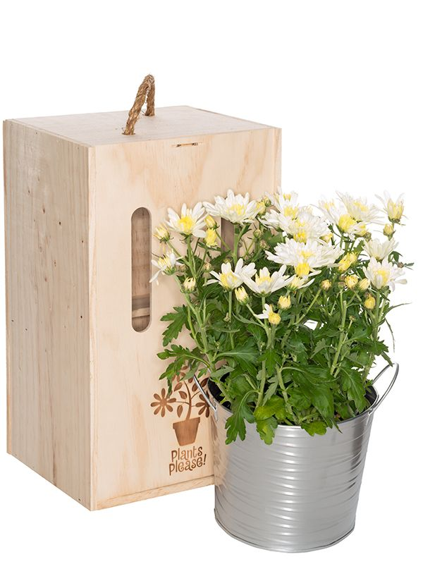 Chrysanthemums - perfect at Mother's Day, boxed and delivered to the door within NZ