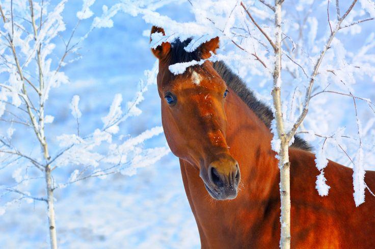 Læs om træning af heste i kulden på Langthesteliv.dk
