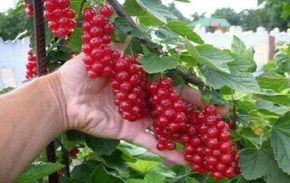 В десять раз больше урожай смородины и малины!