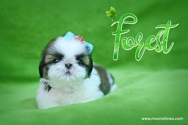 Cute shih tzu puppy shihtzu bebe