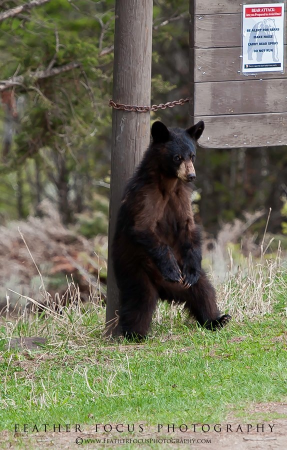 Sign Reads: Bear Attack; Are you Prepared to Avoid One? Be Alert -